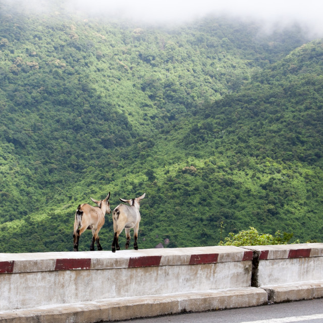 """Goats on the mountain road"" stock image"