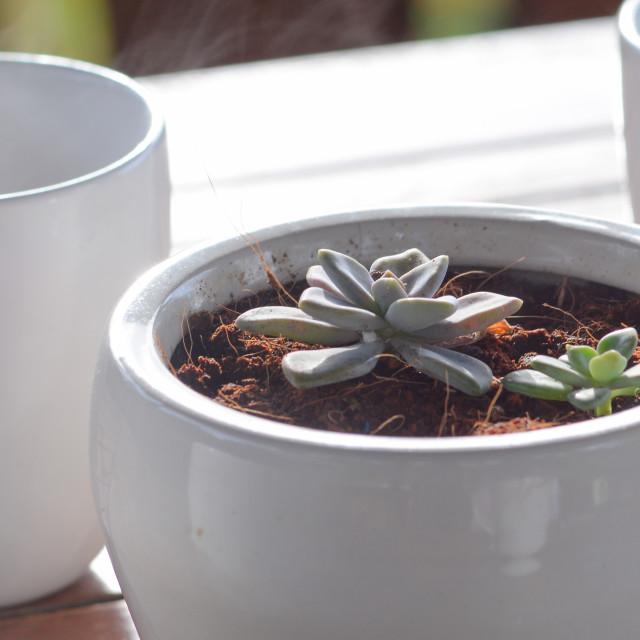 """""""Small echeveria plant in a white bucket"""" stock image"""