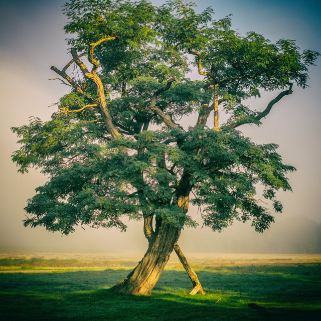 """The Morning Tree"" stock image"