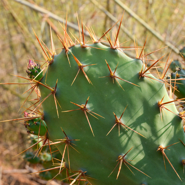 """Opuntia cactus at the park"" stock image"