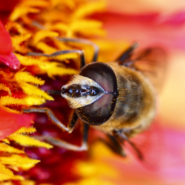 """Hover fly pollinating"" stock image"
