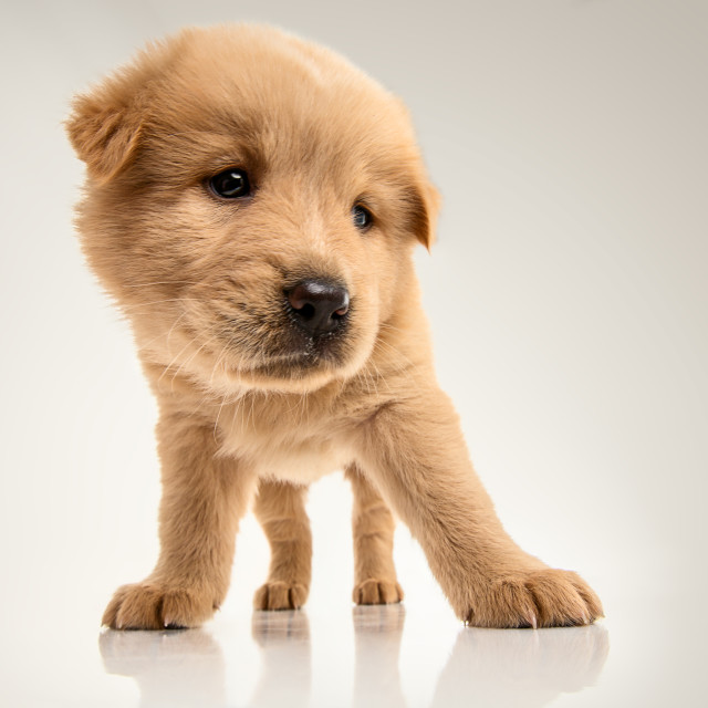 """Fluffy Chow-chow puppy"" stock image"