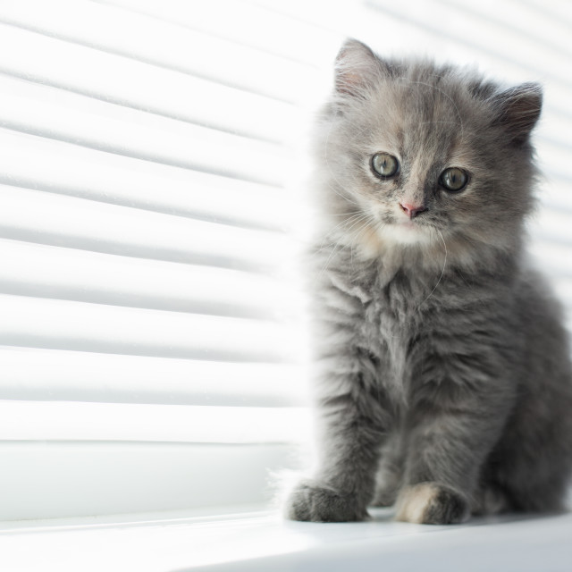 """""""Adorable little cat looking through the window, close up portrai"""" stock image"""