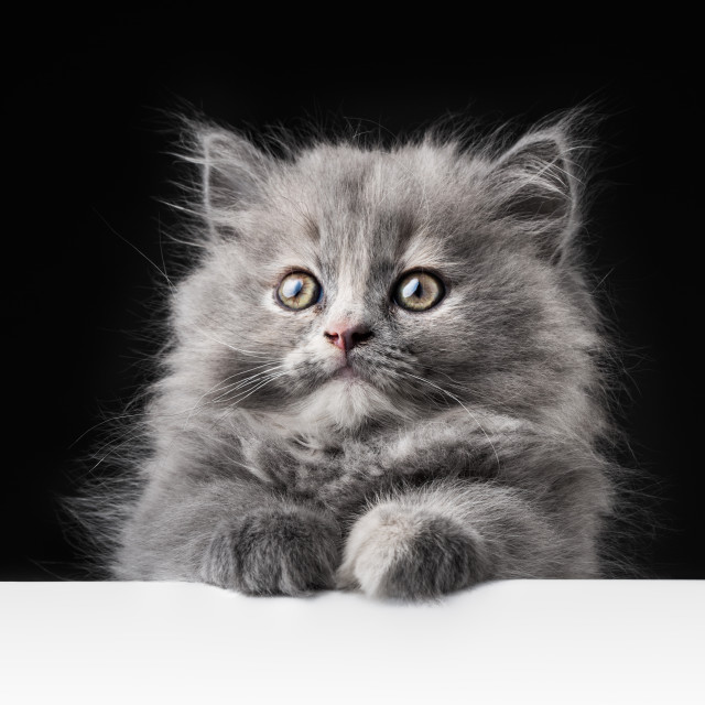 """""""Cat or kitten isolated behind signboard"""" stock image"""