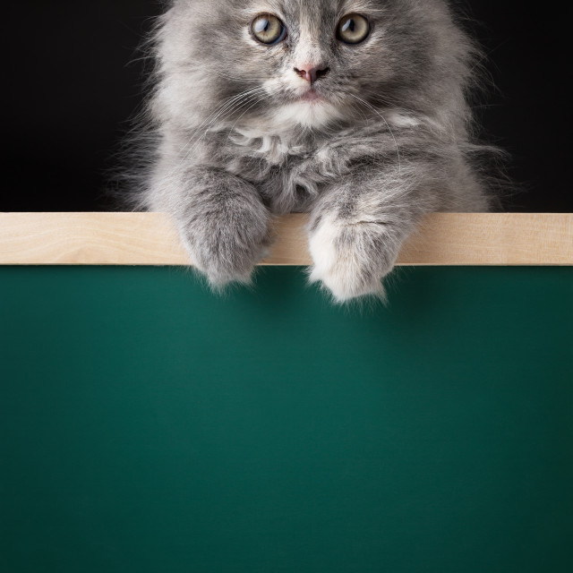 """Cat or kitten isolated behind signboard"" stock image"