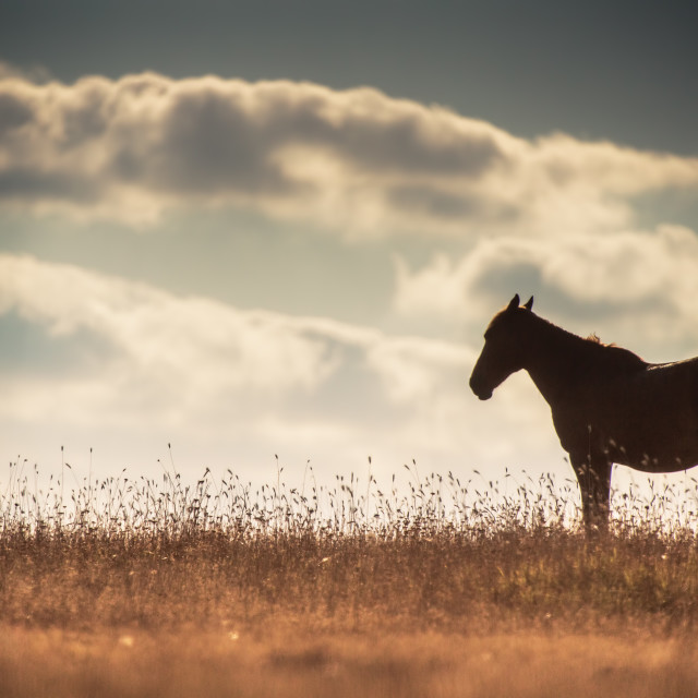 """Wild horse on pasture at sunrise"" stock image"