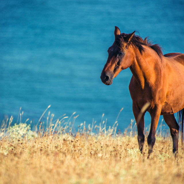 """Wild horse in front of the sea at sunrise"" stock image"