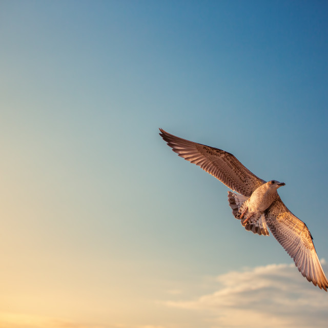 """Flying seagull in the blue sky"" stock image"