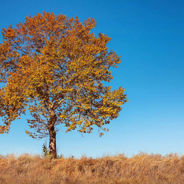 """Big autumn tree and deep blue sky"" stock image"
