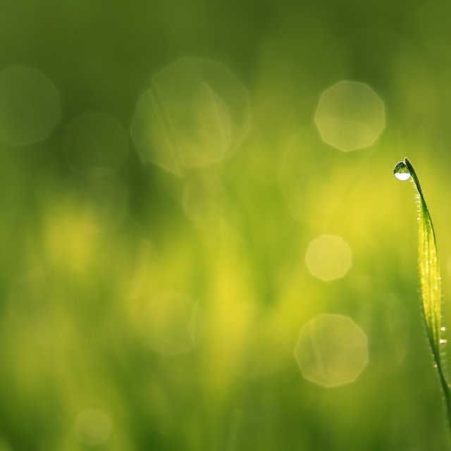 """Water drops on blade of grass"" stock image"
