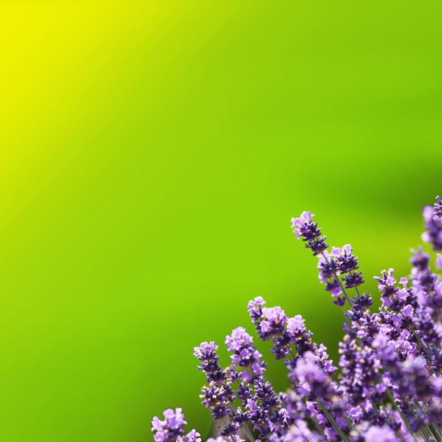 """Lavender , defocused background"" stock image"