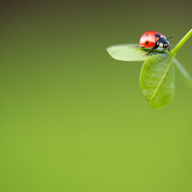 """Ladybug on green leaf"" stock image"