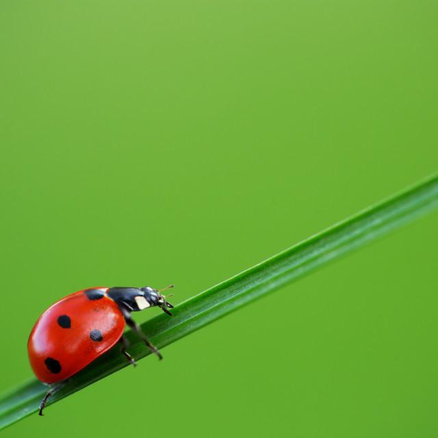 """Ladybug on green grass"" stock image"