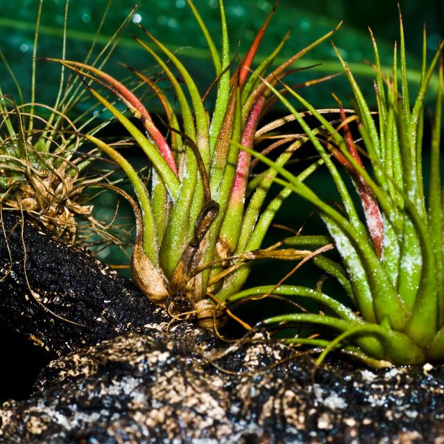 """Tillandsia Ionantha var. Scaposa (Bromeliaceae)"" stock image"