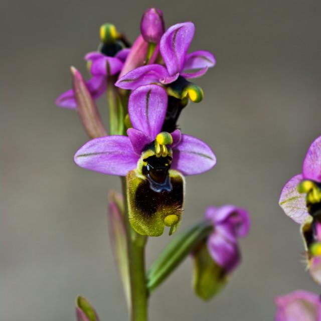 """Ophrys Tenthredinifera"" stock image"