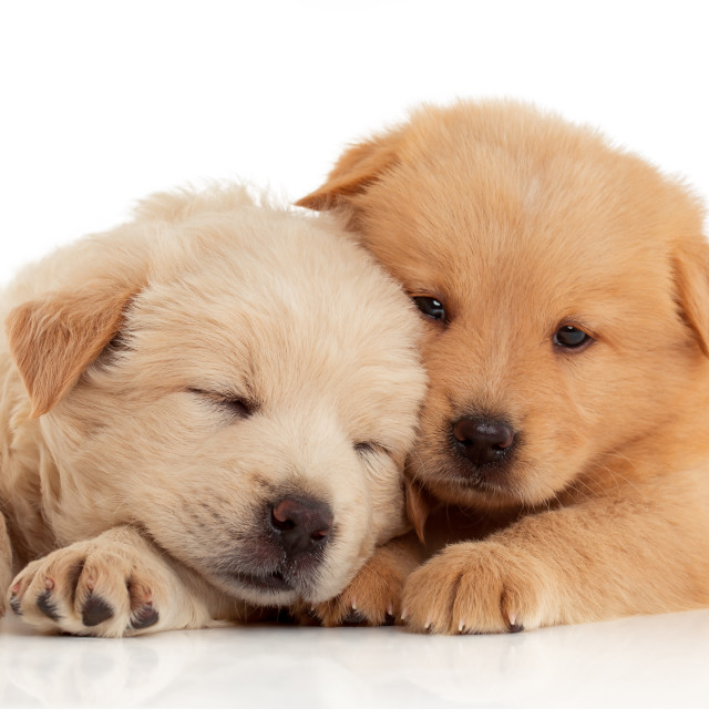 """""""Two cute Chow-chow puppies, isolated over white background"""" stock image"""
