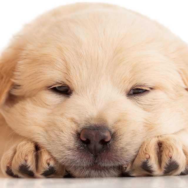 """Fluffy Chow-chow puppy, isolated over white"" stock image"
