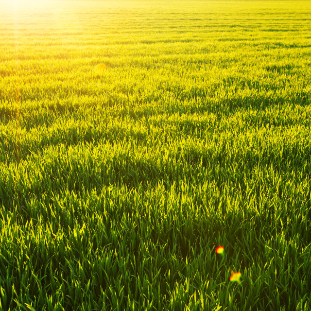 """Sunny wheatfield and shining sun"" stock image"
