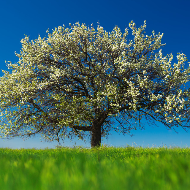 """""""Blossoming tree in spring on rural meadow"""" stock image"""