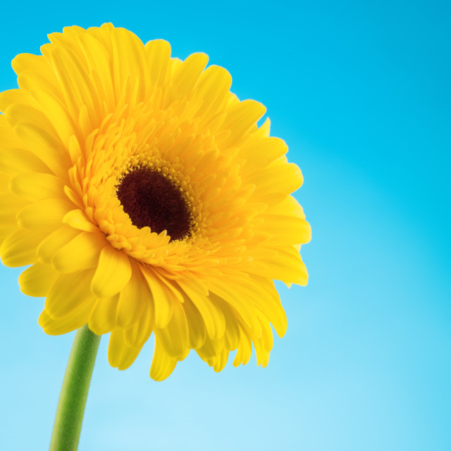 """Yellow gerbera daisy flower on blue background"" stock image"