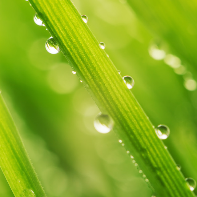 """Green wet grass with dew on a blades"" stock image"
