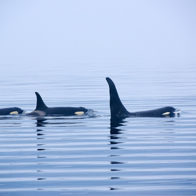 """""""Killer whale or Orca with huge dorsal fins"""" stock image"""