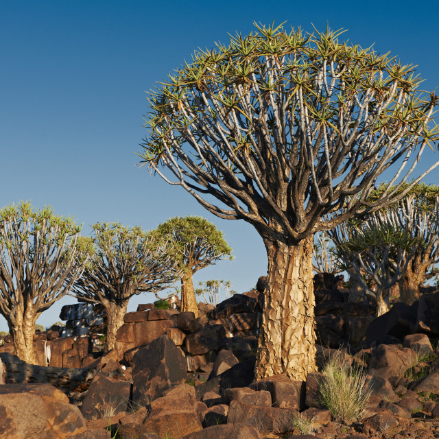 """""""Quiver tree forest"""" stock image"""