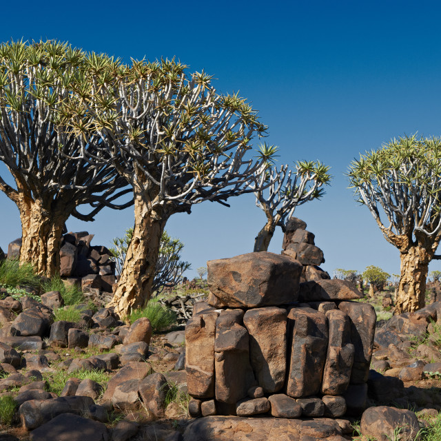 """Quiver tree forest"" stock image"