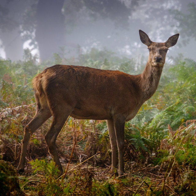 """""""Portrait of a Red Deer Hind"""" stock image"""