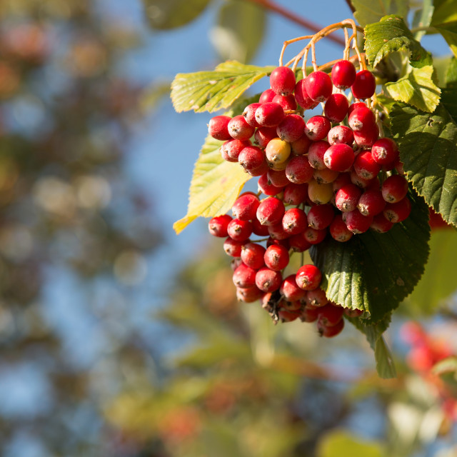 """Poland.The berries of common rowan in autumn.Vertical."" stock image"