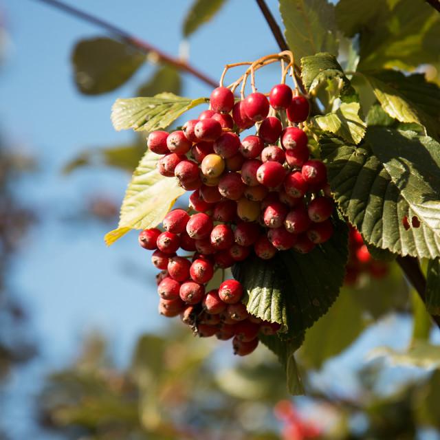 """Poland.The berries of common rowan in autumn.Horizontal."" stock image"