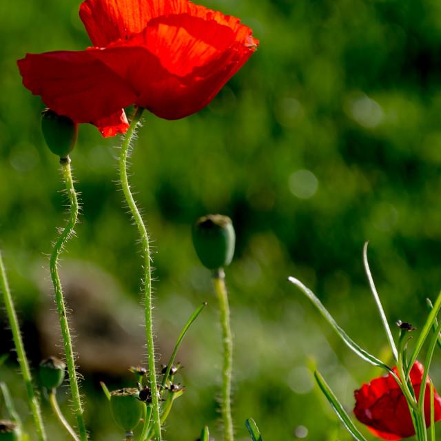 """Poppy red"" stock image"
