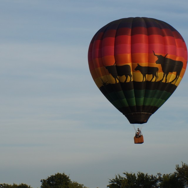 """Cattle Hot Air Balloon"" stock image"
