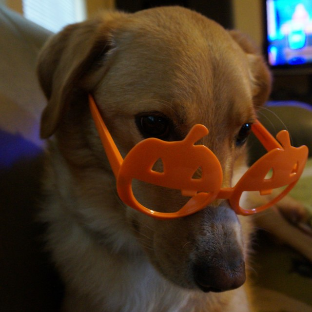 """Bashful Dog with pumpkin glasses"" stock image"