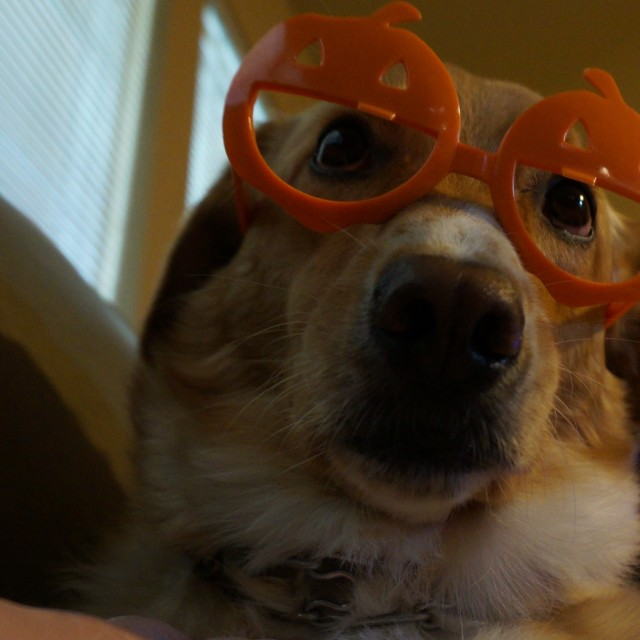 """Dog with pumpkin glasses"" stock image"