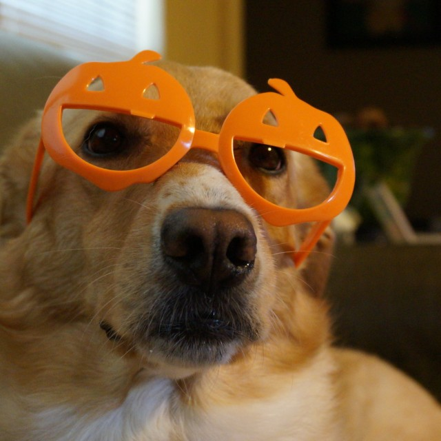 """Intelligent dog with pumpkin glasses"" stock image"