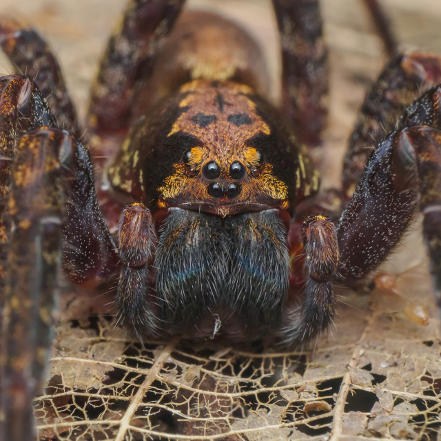 """Wandering Spider"" stock image"