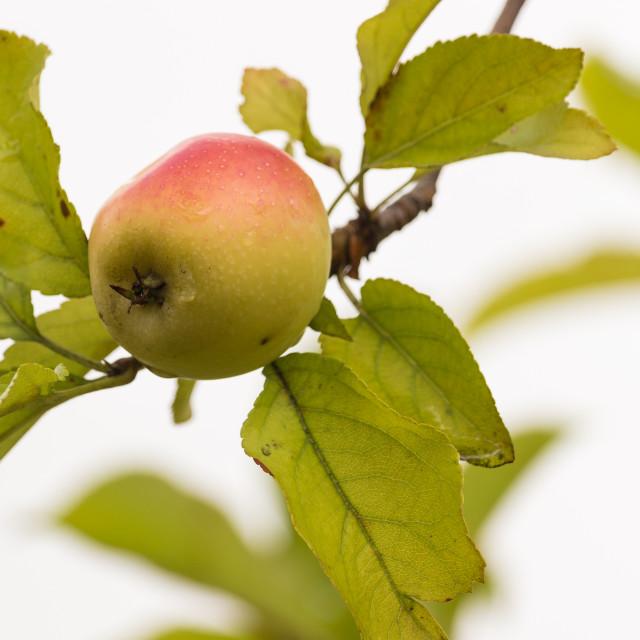 """The apple tree"" stock image"