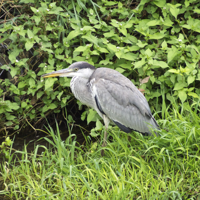 """Gray heron (stay)"" stock image"