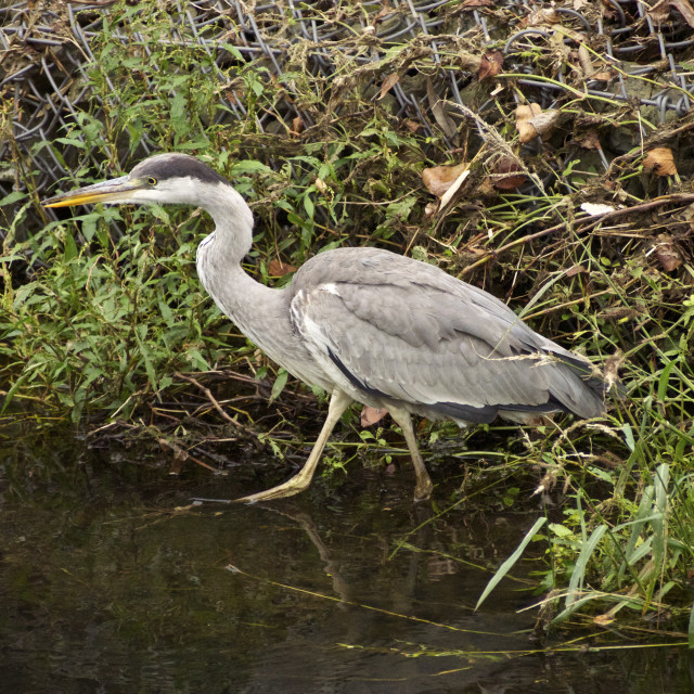 """Gray heron (walk)"" stock image"