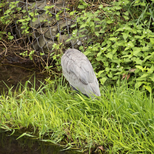 """From behind the gray heron"" stock image"