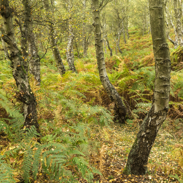 """Autumn Birch Trees"" stock image"