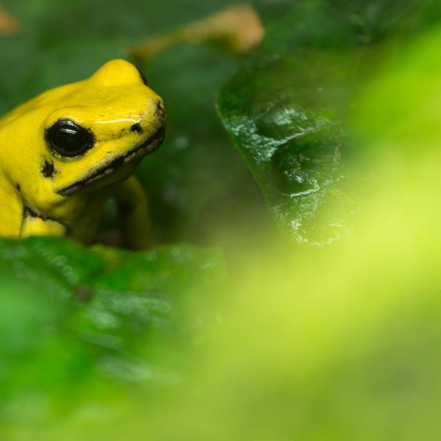 """""""Golden Poison Frog (Phyllobates terribilis), Washington DC."""" stock image"""