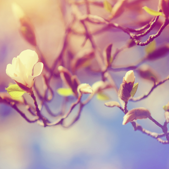 """Magnolia Spring Bloom"" stock image"