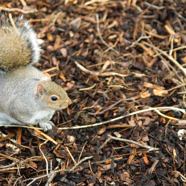 """A North American Grey Squirrel"" stock image"