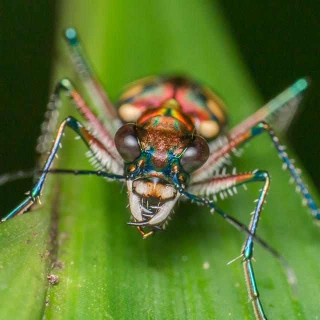 """""""Japanese Tiger Beetle (Cicindelinae)"""" stock image"""