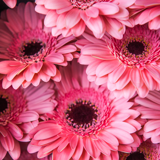 """Pink Gerbera"" stock image"