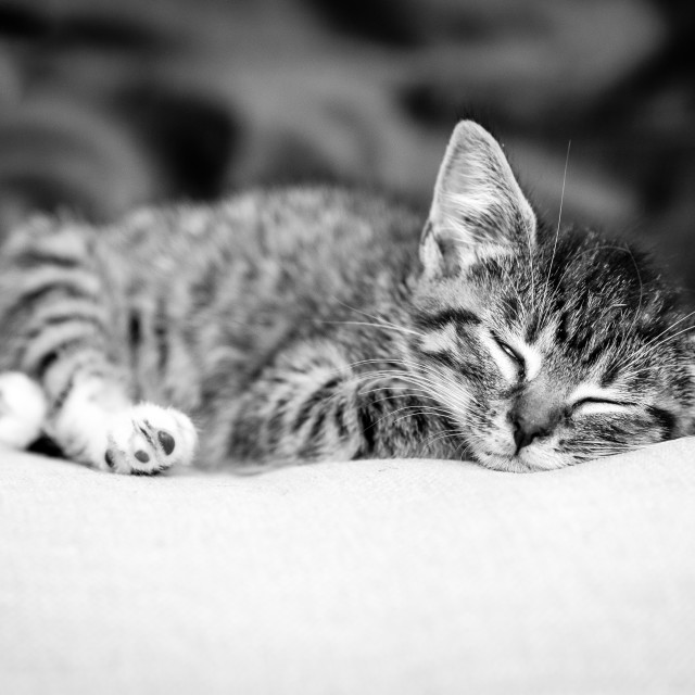 """Sleeping Tabby Kitten (Black & White)"" stock image"