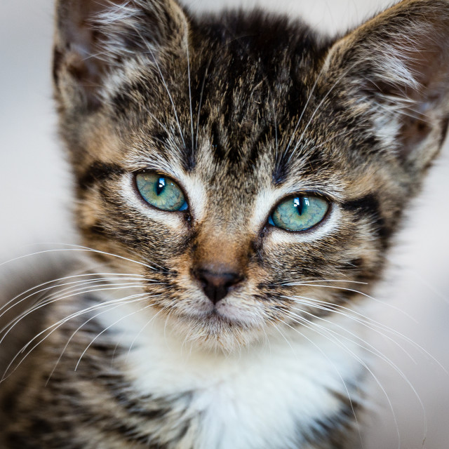 """Kitten Portrait"" stock image"