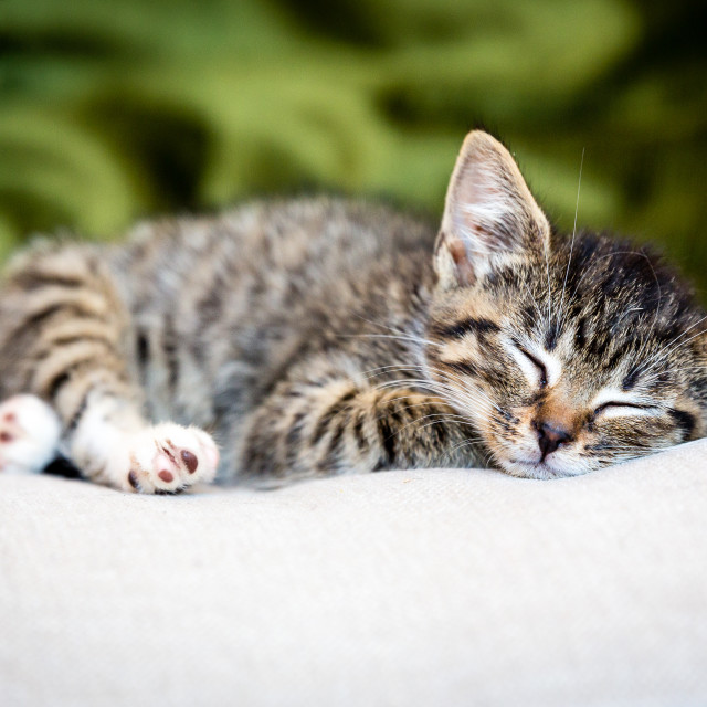 """Sleeping Tabby Kitten (Colour)"" stock image"